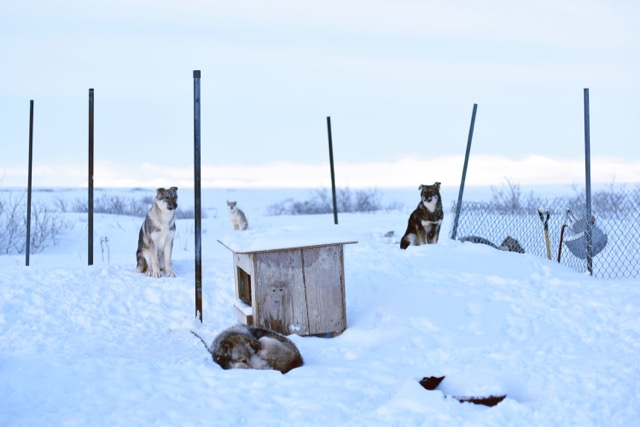 Dog Lot in Brevig Mission, Alaska