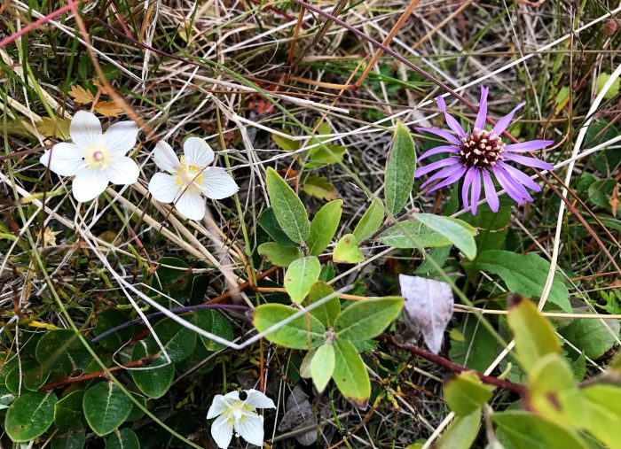 Tundra Flowers and the Beginnings of Fall