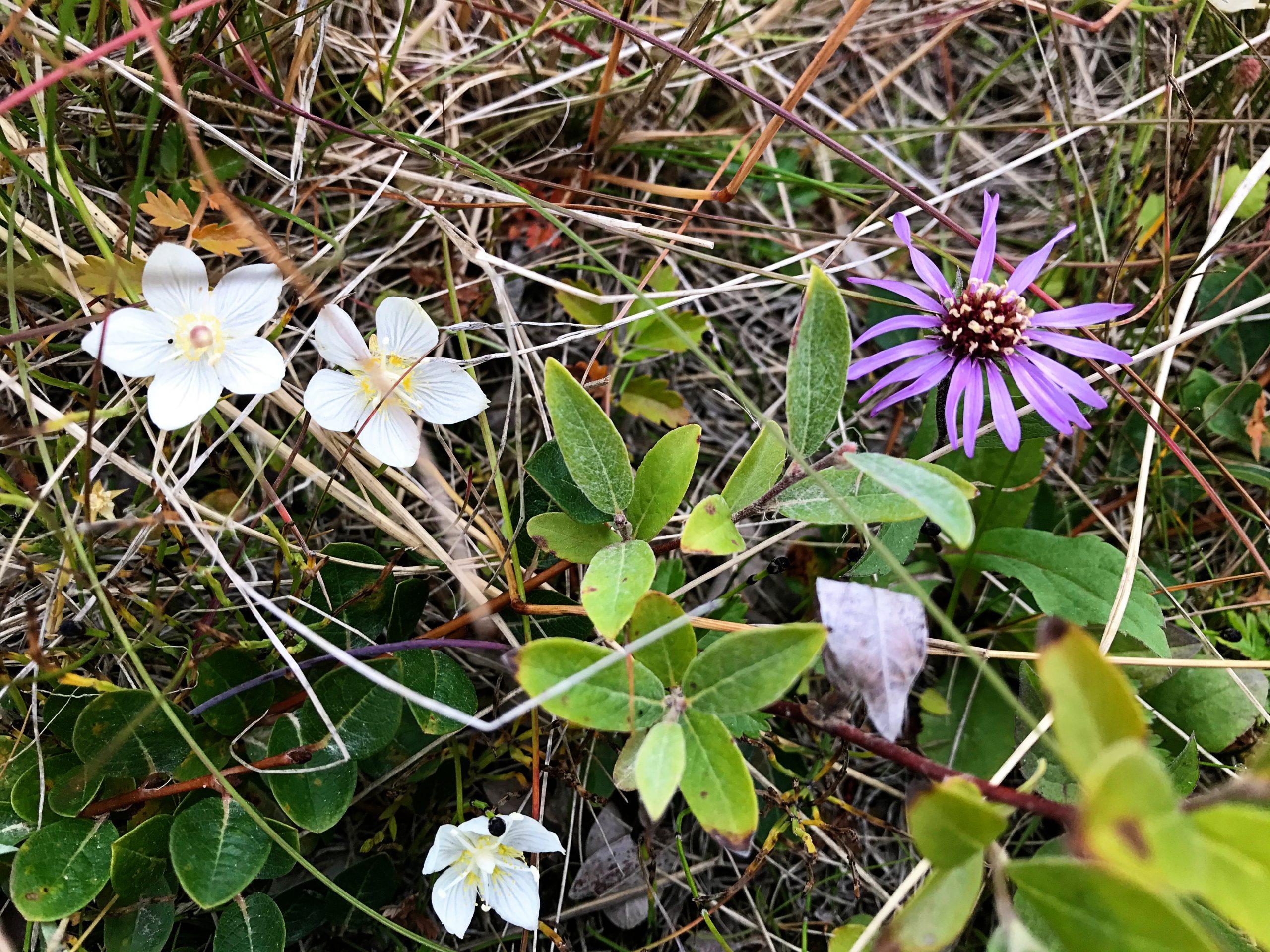 Tundra Flowers Yellow and Purple
