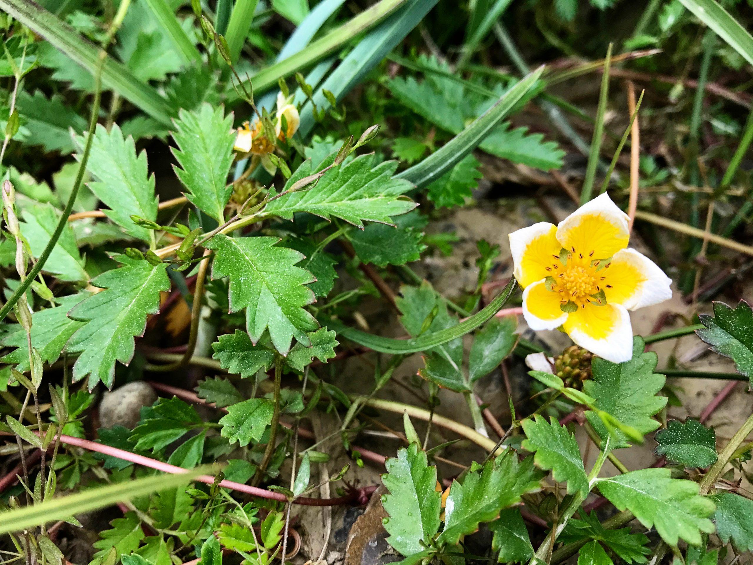 Tundra Flowers Light Yellow Tips